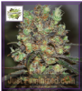 Cream of the Crop Purple Paralysis Fem 5 Seeds